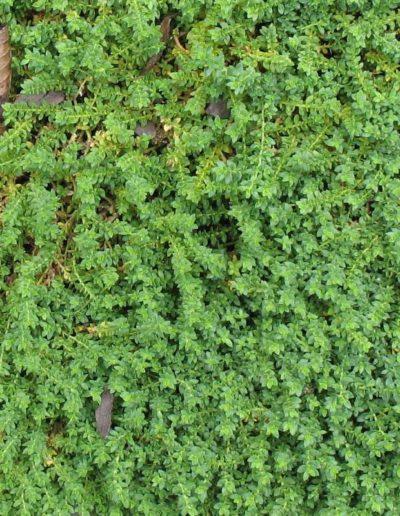 Herniaria glabra, turquette