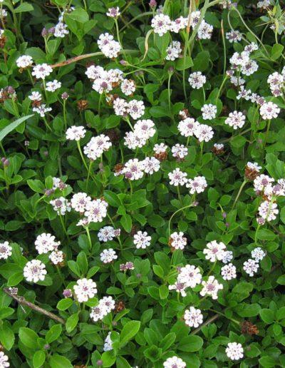 Lippia nodiflora, verveine nodiflore