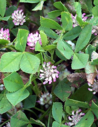 Trifolium fragiferum, trèfle fraisier