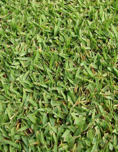 Zoysia tenuifolia, gazon des Mascareignes