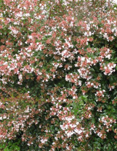 Abelia x grandiflora, abélie à grandes fleurs