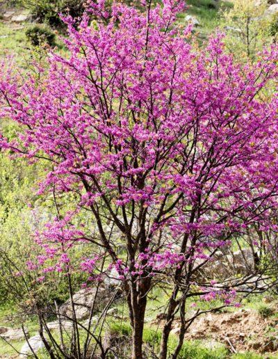 Cercis siliquastrum, arbre de Judée