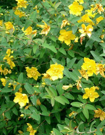 Hypericum 'hidcote', millepertuis arbustif