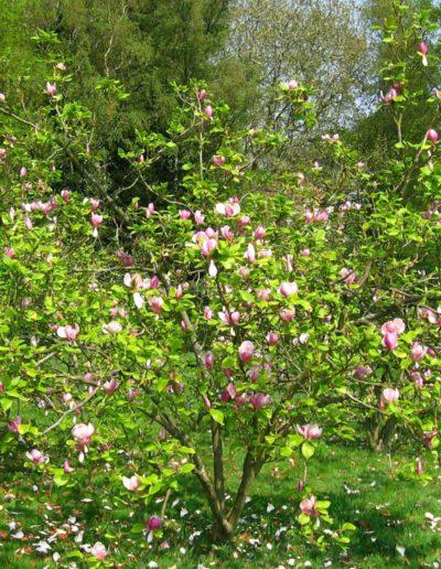 Magnolia x soulangeana, magnolia de Chine