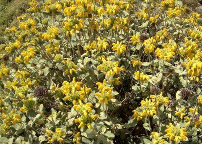 Phlomis fruticosa, sauge de Jérusalem