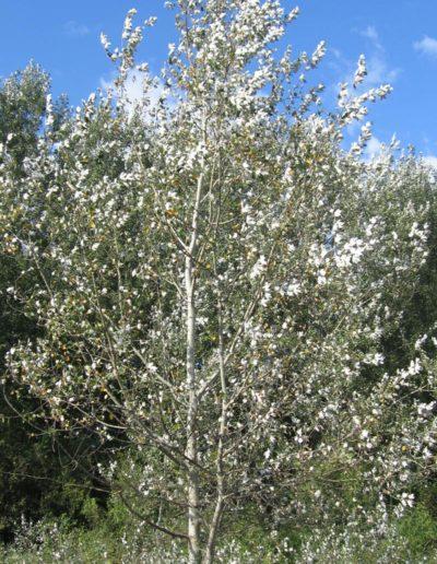 Populus alba, peuplier blanc