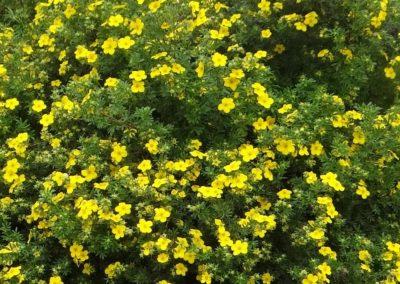 Potentilla fruticosa, potentille arbustive