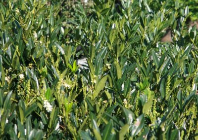 Prunus laurocerasus 'Otto Luyken', laurier-cerise