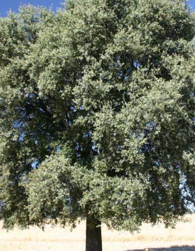 Quercus ilex, chêne vert