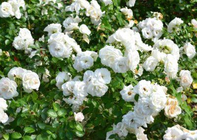 Rosa, rosier