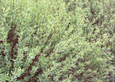 Salix purpurea, saule pourpre