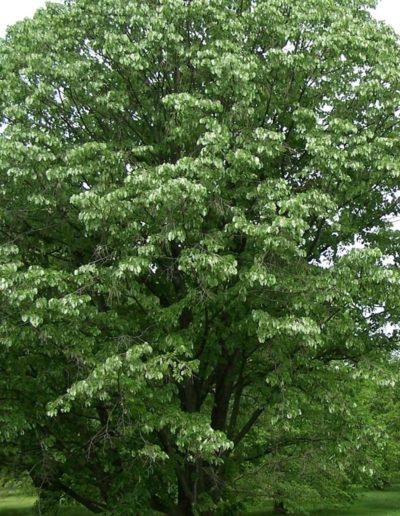 Tilia tomentosa, tilleul argenté