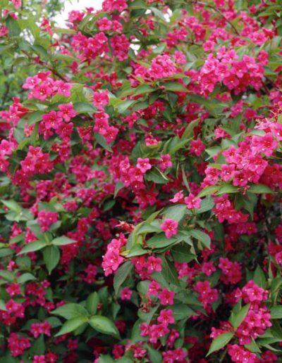 Weigelia 'bristol ruby', weigelia